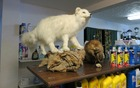 A sparkling example of truck stop taxidermy in Trapper Creek, Alaska.